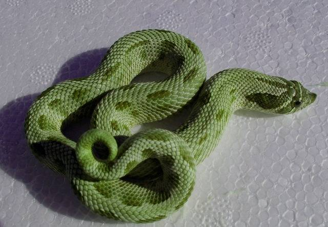 New green hognose morph? - Reptile Forums